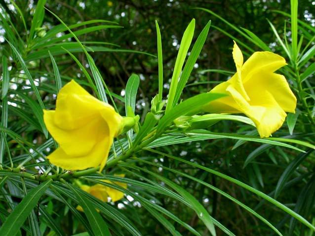 Thông thiên,huỳnh liên,trúc đào hoa vàng,hoàng hoa giáp trúc đào,Thevetia peruviana,Cascabela thevetia,họ trúc đào,trúc đào