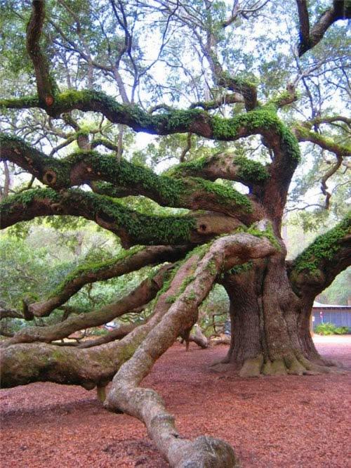 Cây sồi,cây sồi thần tiên,Quercus
