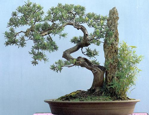Cây cảnh bonsai đẹp