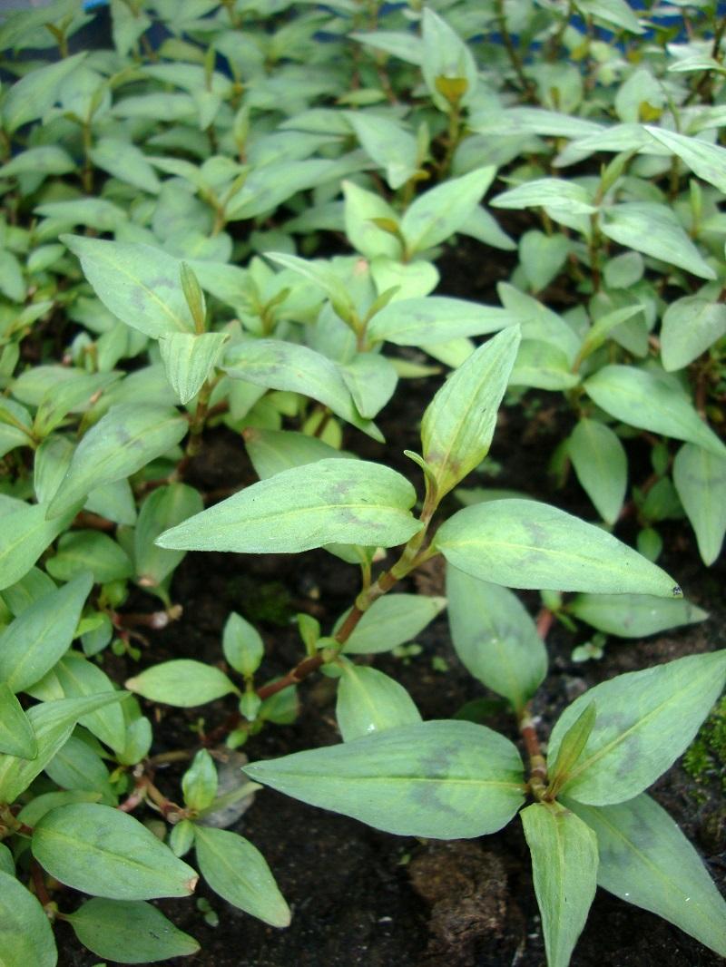 Rau răm,cây rau răm,Persicaria odorata,họ thân đốt,họ rau răm,họ Polygonaceae,cây gia vị