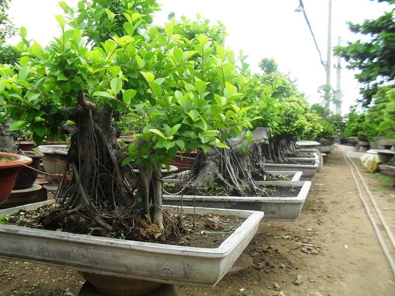 Cây Si trồng làm cây cảnh bonsai
