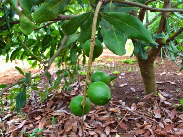 Cây Mắc Ca (Cây mác ca),Macadamia, Proteaceae, cây mắc ca, cay mac ca, cây mác ca, công dụng cây mắc ca,