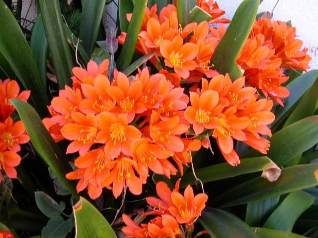 Lan quân tử,cây lan,hoa lan,phong lan,hoa lan quân tử,huệ đỏ,lan huệ da cam,đại quân tử,Clivia,Clivea