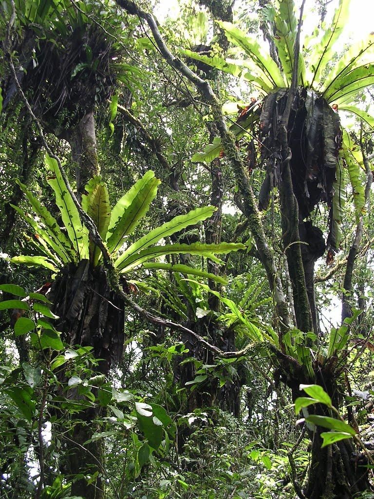 cây tổ chim,cay to chim,tổ chim,cây tổ điểu,ráng ổ phụng,ráng tổ quạ,Asplenium nidus,dương xỉ,Pteridophyta