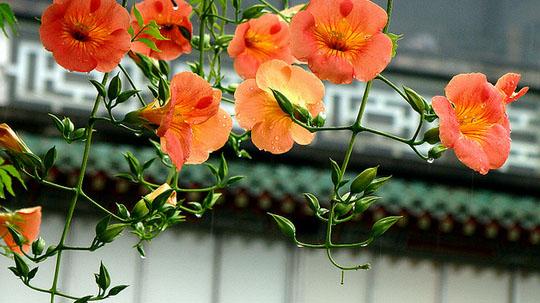 Hoa lan tiêu,lan tiêu,lan tieu,hoa lan tieu,hoa đăng tiêu,hoa dang tieu,hoa nữ uy,hoa lăng tiêu,Campsis grandiflora,họ Núc Nắc,cây hoa