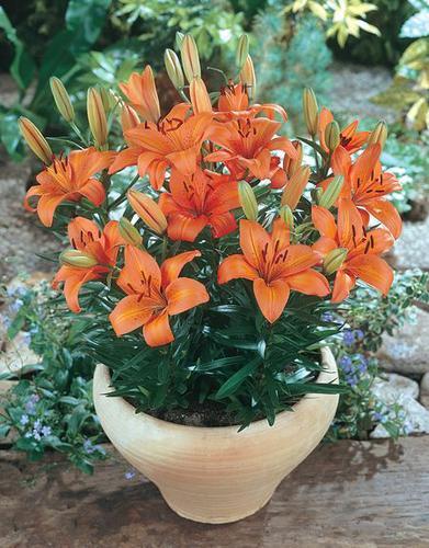 Hoa ly,hoa ly cam