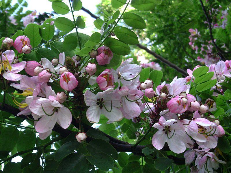 Muồng hoa đào
