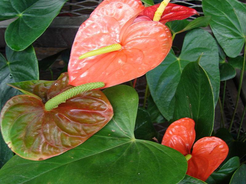 Tiểu hồng môn,hồng môn,môn hồng,vĩ hoa đỏ,vĩ hoa tròn,hồng hạc,buồm đỏ,Anthurium andraeanum,họ ráy,Araceae,cây ngày Tết,cây nội thất