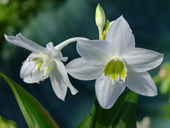 Hoa ngọc trâm,ngọc trâm,Amazon Lily,cây hoa đẹp