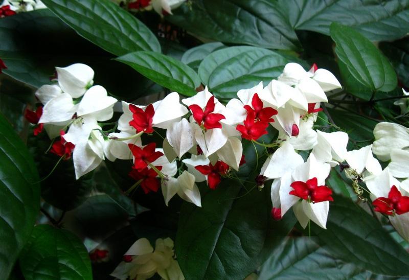 Hoa ngọc nữ,hoa ngoc nu,rồng nhả ngọc,tố nữ,lồng đèn,trinh nữ,Clerodendrum thomsoniae,Clerodendrum