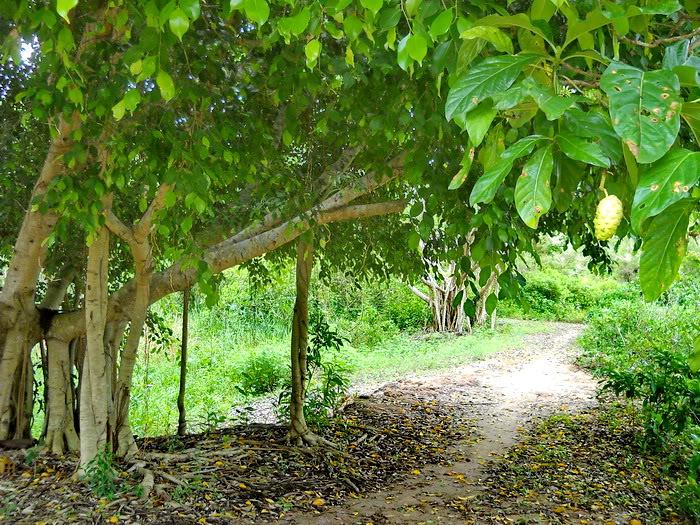Cây nhàu,Morinda Citrifolia L.,họ Cà phê,Rubiaceae