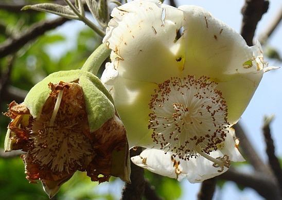 Bao báp,cây bao báp,họ gạo,boab,Bombacaceae,cây lớn nhất thế giới,bao báp châu Phi,Bao báp Madagasca,Bao báp Grandidier,Bao báp Perrier,Bao báp Suarez,Bao báp Za,Adansonia digitata,Adansonia grandidieri,Adansonia gregorii,Adansonia madagascariensis,Adansonia perrieri,Adansonia rubrostipa,Adansonia suarezensis,Adansonia za