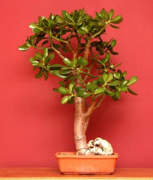 Cây ngọc bích,cay ngoc bich,ngọc bích,ngoc bich,cây phỉ thúy,cây tình bạn,cây may mắn,cây kim tiền,Money Plant,lucky money,cây ngày tết