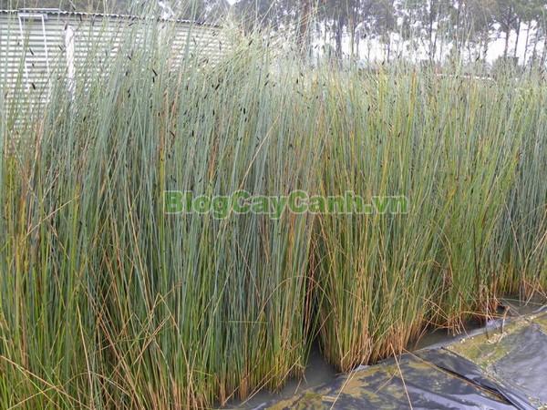Cây Cỏ Bàng (Cây cói bàng),cỏ bàng, công dụng của cây cỏ bàng, cây cỏ bàng, cây bàng, cây cói bàng, Lepironia articulata, chi Lepironia, họ Cói,Cyperaceae,