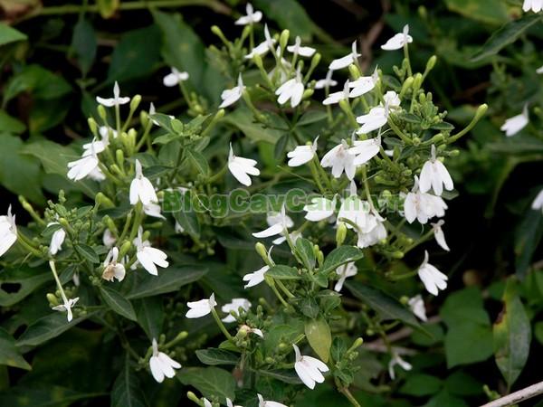 Cây kiến cò,cây kiến cò, cay kien co, Rhinacanthus nasutus (Linn.) Kurz, họ Acanthaceae, cay kien co, công dụng cây kiến cò, cây kiến cò chữa bệnh,