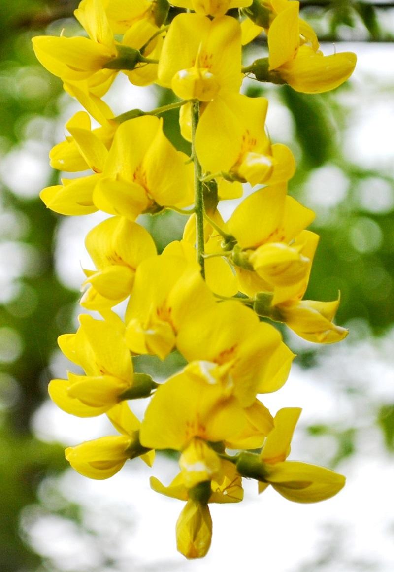 Cây chuỗi vàng,cay chuoi vang,cây kim tước,chuỗi vàng,Golden Chain,Golden Chain Flowers,Kingusari,Laburnum,họ đậu,Fabaceae