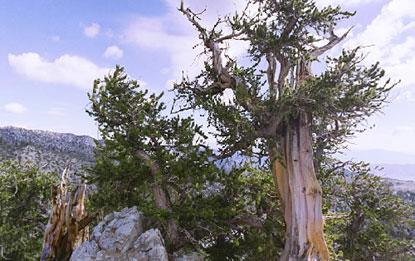 cây thông Methuselah