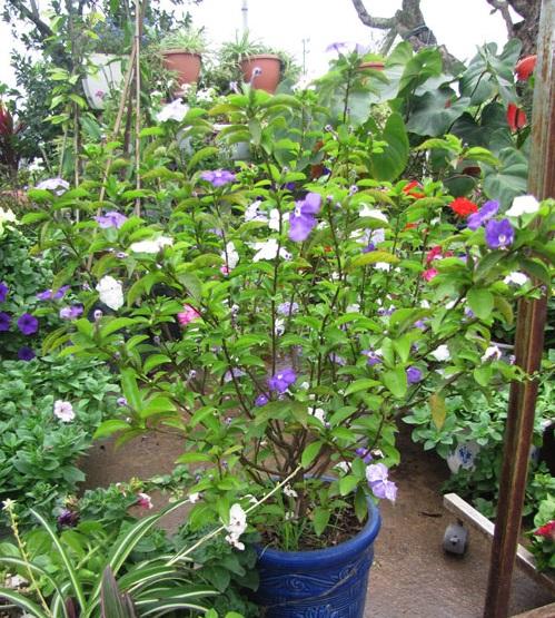 Kết quả hình ảnh cho cây hoa nhài nhật