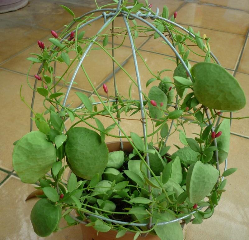 Lan sò,hoa lan sò,cây lan sò,cây con sò,họ Bông tai,họ Thiên lý,Asclepiadaceae,cây leo