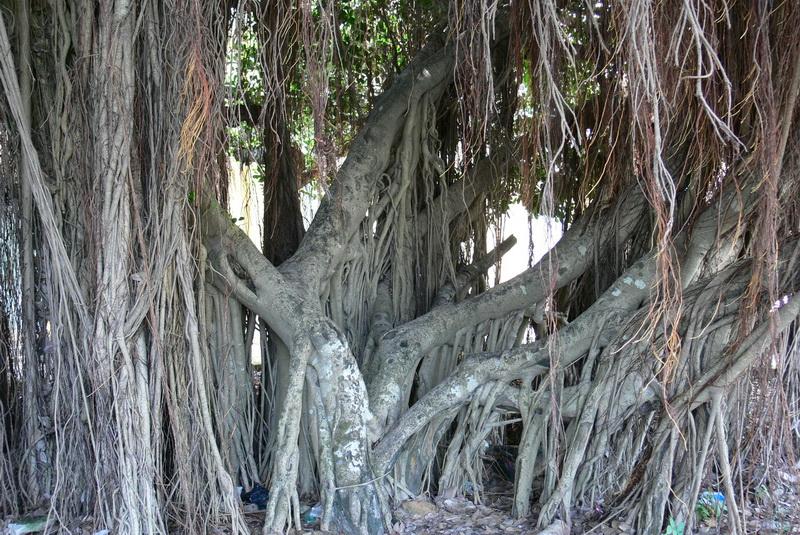 Gốc và Rễ cây Si ( Gừa )