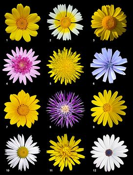 Mười hai loài thuộc họ Cúc, từ các phân họ Asteroideae, Cichorioideaea và Carduoideae