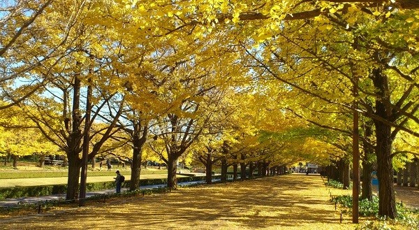 Đường cây bạch quả ở Nhật Bản