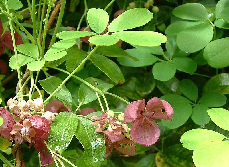 Mộc thông,họ mộc thông,họ luân tôn,Lardizabalaceae