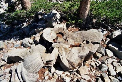 Gốc của cây Prometheus