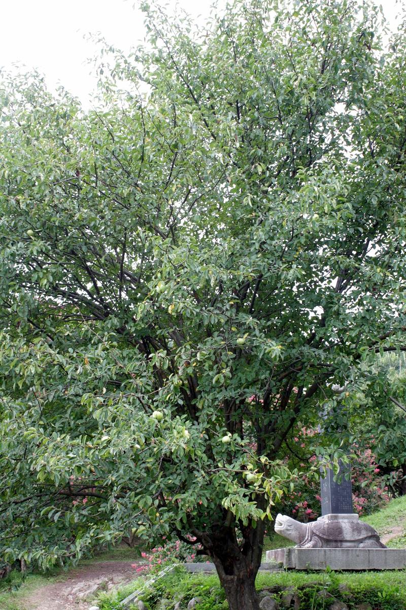 Mộc qua Trung Quốc,mộc qua,mộc qua hải đường,minh tra,Pseudocydonia sinensis,Pseudocydonia,cây ăn quả