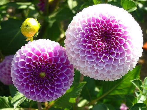 Thược dược xương rồng,Thược dược,hoa thược dược,Dahlia variabilis Desf,họ cúc,Asteraceae,hoa tướng,ý nghĩa hoa thược dược,truyền thuyết hoa thược dược