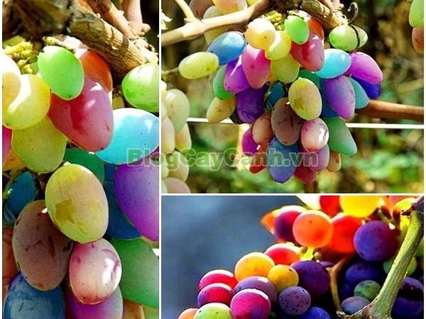 Cây Nho Cầu Vồng,cây nho cầu vồng, hình ảnh cây nho cầu vồng, cách trồng cây nho cầu vồng, cách chăm sóc cây nho cầu vồng, cay nho cau vong, cây lạ,