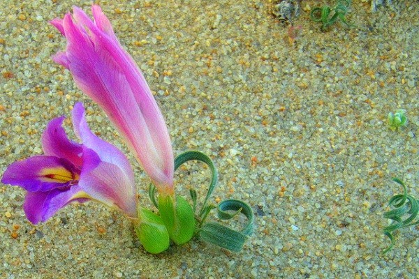 Cỏ xoắn ốc,Moraea tortilis,họ diên vĩ,họ Lay ơn,họ La dơn,Iridaceae