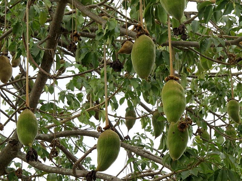 Quả cây bao báp xanh