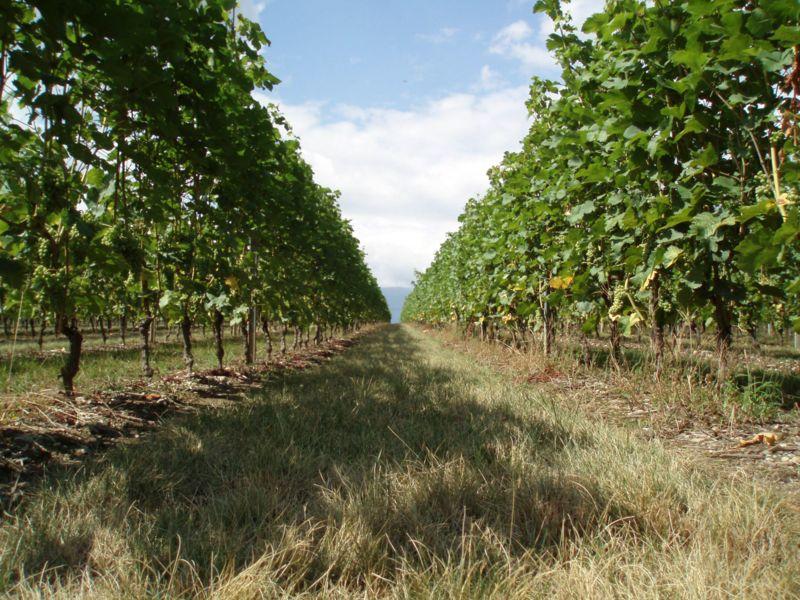 Cây nho trồng ở bang Genève, Thụy Sỹ.