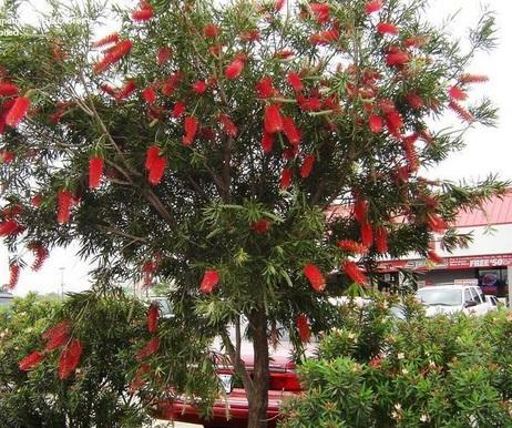 tràm bông đỏ,tram bong do,tràm liễu,tram lieu,liễu hoa đỏ,lieu hoa do,cây liễu,Callistemon citrinus,họ Trâm,Myrtaceae