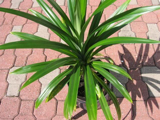 Cây lá dứa thơm,dứa thơm,cây dứa thơm,cây nếp thơm,cây cơm nếp,Pandanus amaryllifolius,dứa dại,Pandanaceae,tác dụng của cây lá dứa