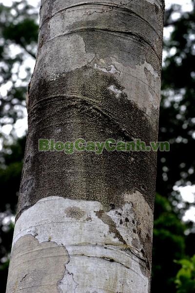 Cây Chò Đen,cây chò đen, Parashorea stellata Kurz., thuộc họ Dầu, họ Dipterocarpaceae, cây chò, chò đen, cay cho den,