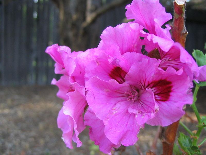 Thiên trúc quỳ,quỳ thiên trúc,Pelargonium,họ mỏ hạc,Geraniaceae
