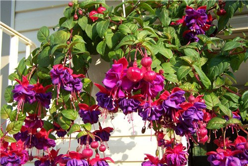 hoa đèn lồng,hoa lồng đèn,hồng hoa đăng,cây lồng đèn,Fuchsia magellanica,họ Anh thảo chiều,họ Nguyệt kiến thảo,họ Rau dừa nước,họ Rau mương,Onagraceae