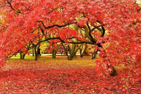 Cây Phong ở Westonbirt, Anh