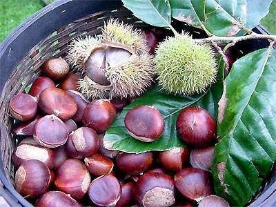 Dẻ thơm,cây dẻ,hạt dẻ,cây hạt dẻ,dẻ trùng khánh,dẻ gai,dẻ gai vàng,dẻ cau,dẻ ngựa,chestnut,Castanea sativa,họ dẻ,họ cử,Fagaceae,cây lất hạt,các loại cây hạt dẻ
