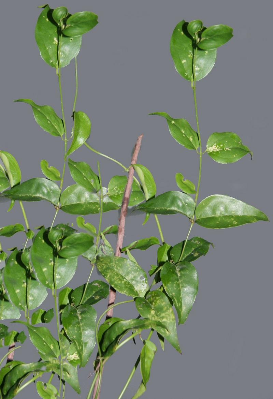 Cây vằng,cây chè vằng,Jasminum subtriplinerve,họ Ô liu,Oleaceae,chè vằng,chè cước man,cẩm văn,cẩm vân,dây vắng,mỏ sẻ,mỏ quạ,râm trắng,râm ri,lài ba gân,cây leo,cây thuốc,cây thảo dược,tác dụng của chè vằng