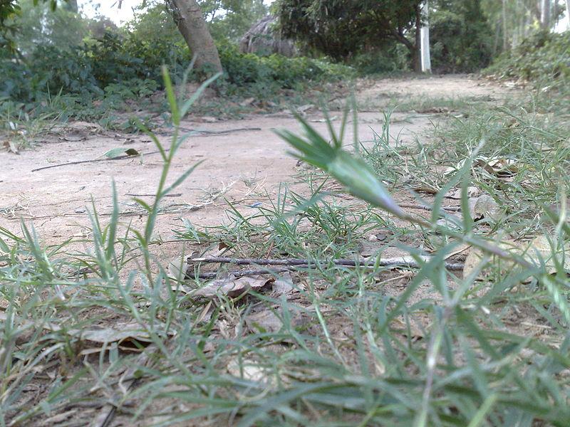 Cỏ gà,chọi cỏ gà,cỏ chỉ,cỏ ống,cỏ Bermuda,Cynodon dactylon,họ hòa thảo,họ lúa,họ cỏ,poaceae,tác dụng của cỏ gà,cỏ gà làm thuốc