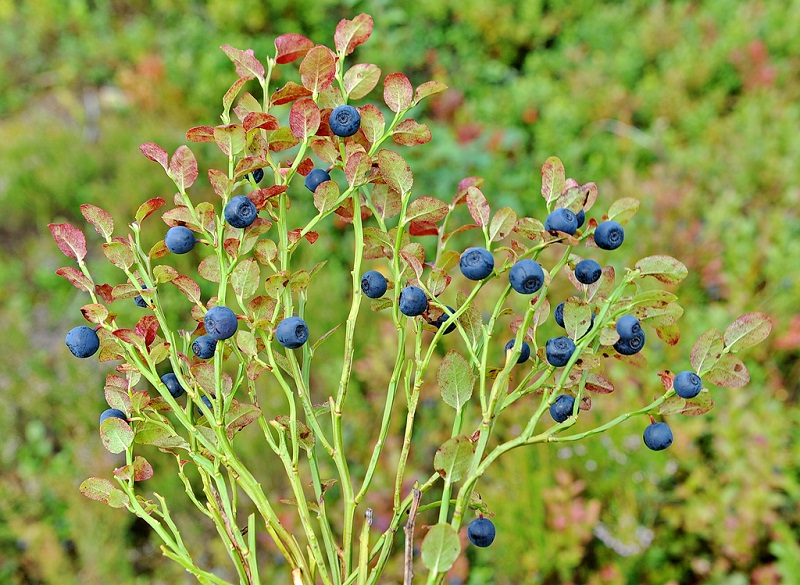 Việt quất đen,việt quất quả đen,việt quất,ỏng ảnh,cây ỏng ảnh,Vaccinium myrtillus,Common Bilberry,Bilberry,tác dụng của quả việt quất,việt quất làm thuốc,việt quất chữa bệnh