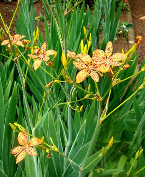 Cây rẻ quạt,rẻ quạt,xạ can,cây xạ can,biển trúc,Belamcanda chinensis,cây hoa đẹp,cây chữa bệnh