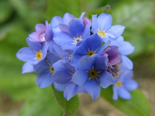 Hoa lưu ly,lưu ly,cây mồ hôi,Myosotis,Boraginaceae,Borago officinalis
