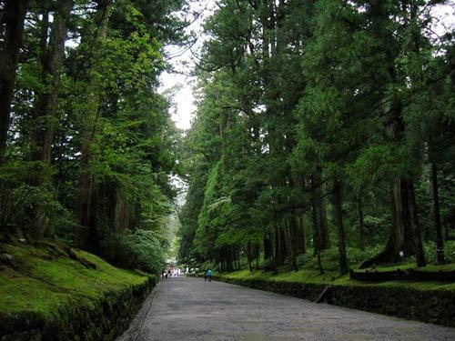 đại lộ tuyết tùng,tuyết tùng,tùng tuyết,đại lộ tuyết dùng dài nhất thế giới,Nhật Bản,phong cảnh đẹp