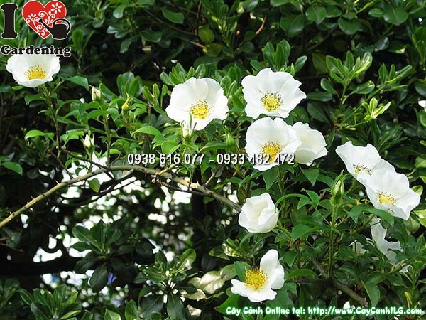 Cây Kim Anh Tử (Cây kim anh),cây kim anh tử, cây mác nam coi, Rosa laevigata Michx., họ Hoa hồng, họ Rosaceae, cây thích lê tử, cây đường quán tử, hình ảnh cây kim anh tử, cây kim anh tử chữa bệnh, trái kim anh tử, quả kim anh tử,