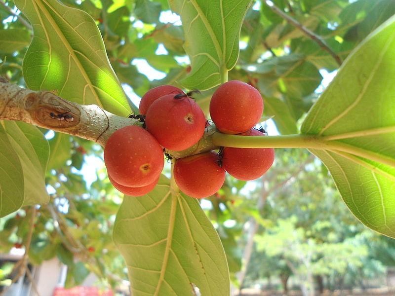 Lá và quả của cây Sanh