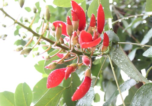 Cây osaka đỏ,cây osaka,osaka,muồng hoa đỏ,hoàng hậu đỏ,cây vông đồng,cây vông kê,vông kê,cây móng quỷ,cây hoàng hậu đỏ,cây đậu san hô đỏ,cây vông màu gà,cây hoa hồng môi,Erythrina fusca,Fabaceae,cây ngoại thất